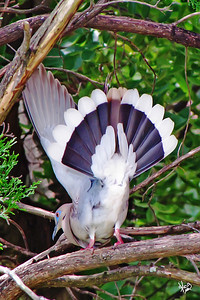 Dove Tail 2