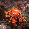 A young puget sound king crab,off Sares head,Fidalgo island.
