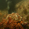 Puget sound King Crab, female.