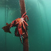 A kelp crab decending from the canopy of the forest.