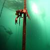 Kelp crab,sares head
