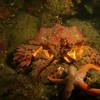 My first puget sound king crab! At sares head.