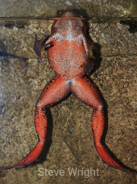 California Red-legged Frog - Monterey Bay Aquarium #7144