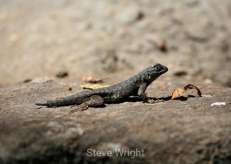 Lizard - Hakone Garden (9) D