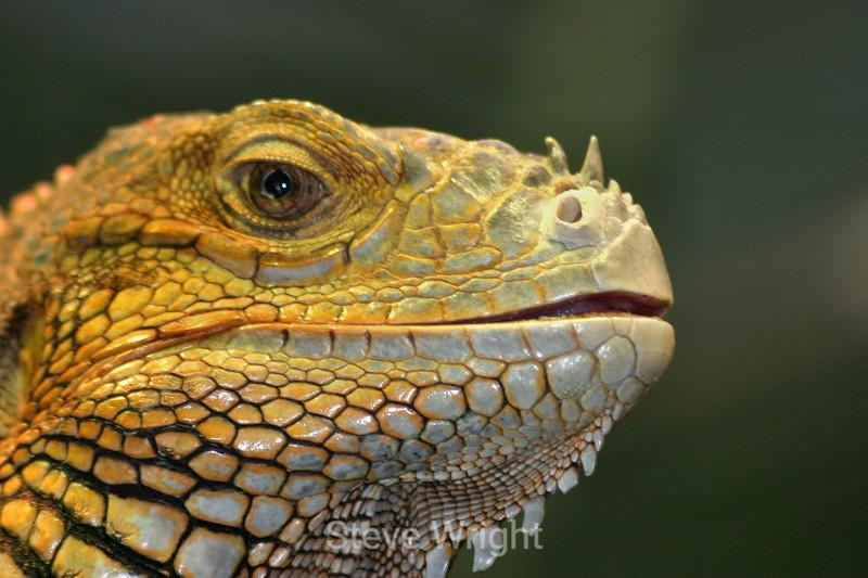 Iguana - SF Zoo (03) Da