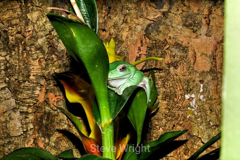 Green Tree frogs - Monterey Bay Aquarium (5)