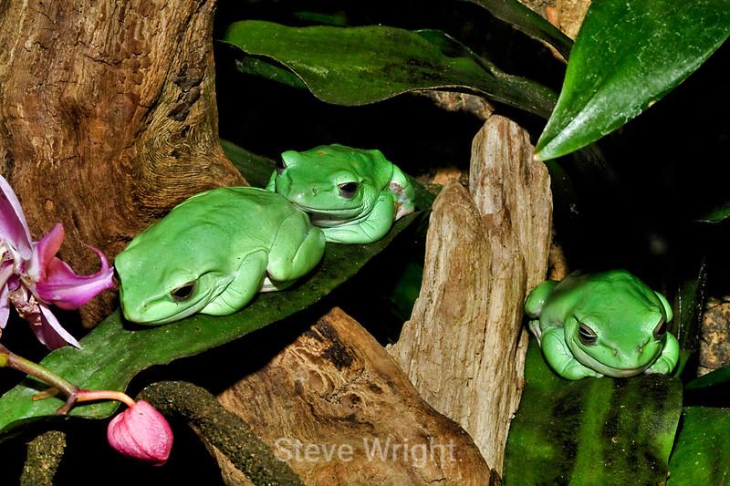 Green Tree frogs - Monterey Bay Aquarium (4)