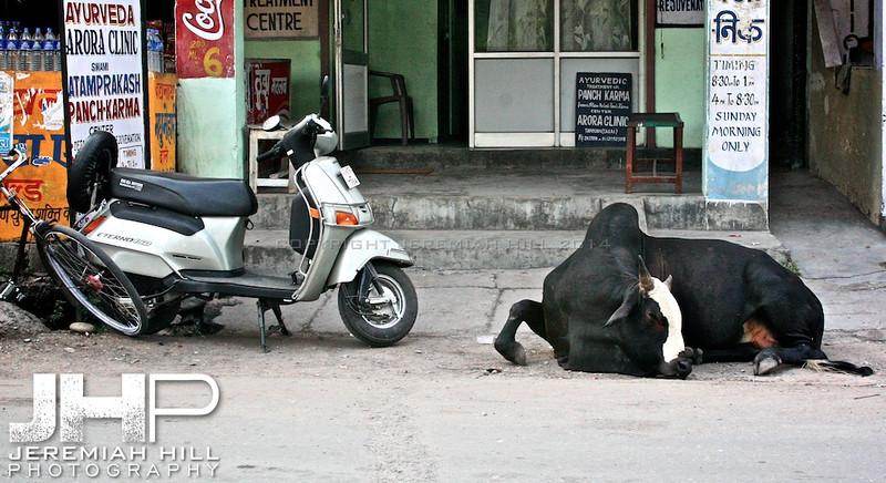 """The Life Of Cow"", Rishikesh, Uttuaranchal, India, 2007 Print IND3627-355"