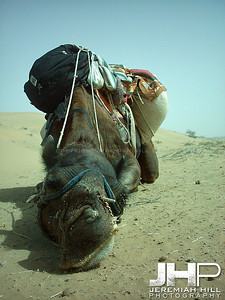 """Kalu, The Mauled-Face Camel #1"", Thar Desert, Rajasthan, India, 2005 Print INDIA9B-93"