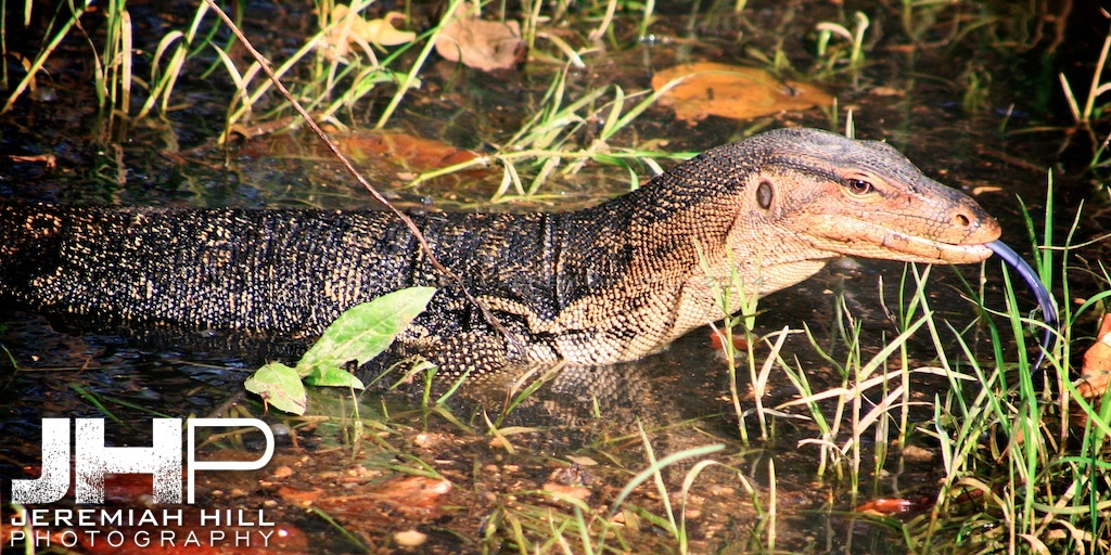 """Monitor Lizard In Swamp #2"", Perhentian Islands, Malaysia, 2007 Print ML-021"