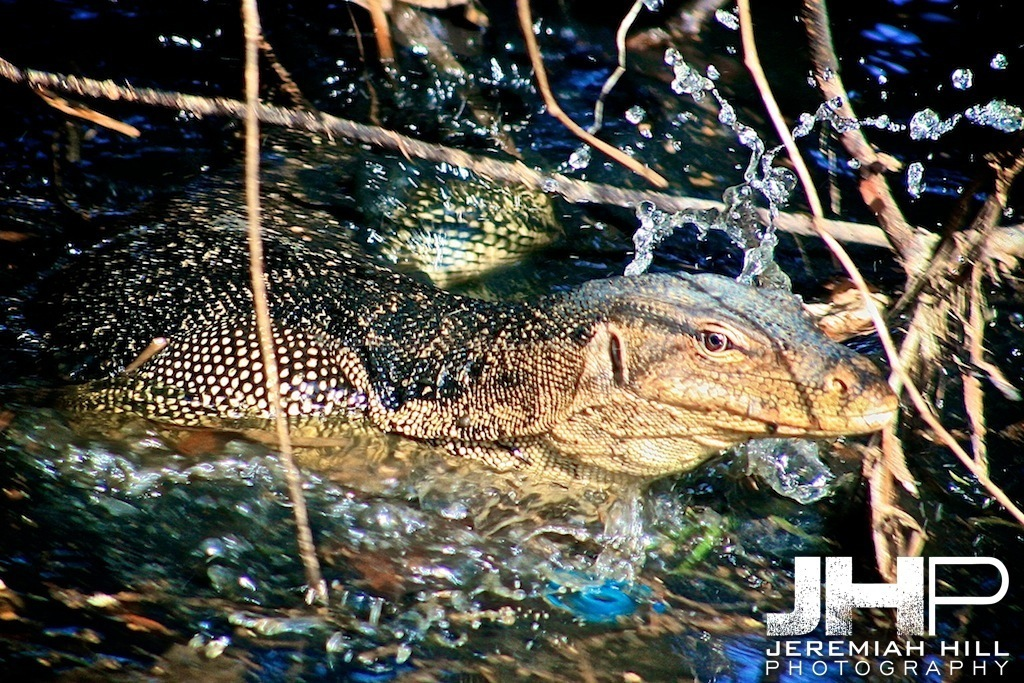 """Monitor Lizard In Motion"", Perhentian Islands, Malaysia, 2007 Print ML-018"