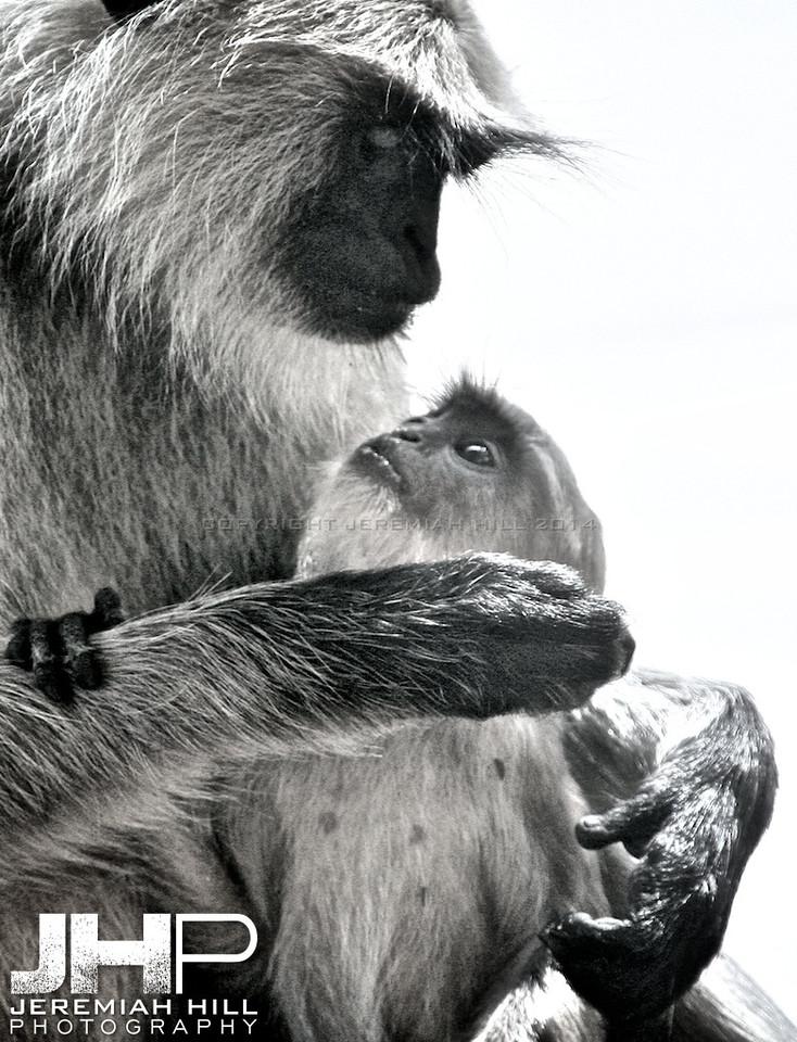 """Lemur and Baby"", Jaipur, Rajasthan, India, 2007 Print IND3-917-061"