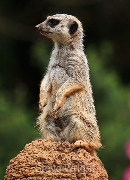 Meerkats - SF Zoo #6021