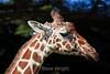 Giraffe - SF Zoo (4656)
