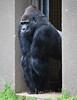 Gorillas - SF Zoo #5533