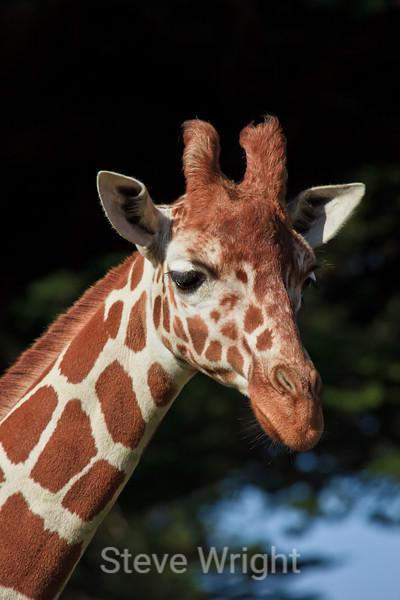 Giraffe - SF Zoo (4664)