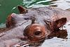 Hippo - SF Zoo #5806