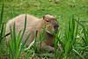 Capybara - SF Zoo #5831