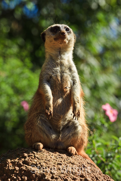 Meerkats - SF Zoo (5014)