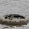 "Turtles trapped in tire  <br> Riverlands Migratory Bird Sanctuary <br> Ellis Bay <br> 2018-09-21 16:29:01 <br>  <span class=""noShowSmart""> <a href=""/MyKeywords/Bird-Videos/n-gF9bt/i-DhD59Bm/A""> <span style=""color:yellow"">Click here to open video in lightbox/full screen</span></a> </span>  <span class=""noShowGallery""> <a href=""/Birds/2018-Birding/Birding-2018-September/2018-09-21-Riverlands-Migratory-Bird-Sanctuary/i-DhD59Bm/A""> <span style=""color:yellow"">Click here to open video in lightbox/full screen</span></a> </span>"