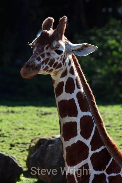 Giraffe - SF Zoo (5231)