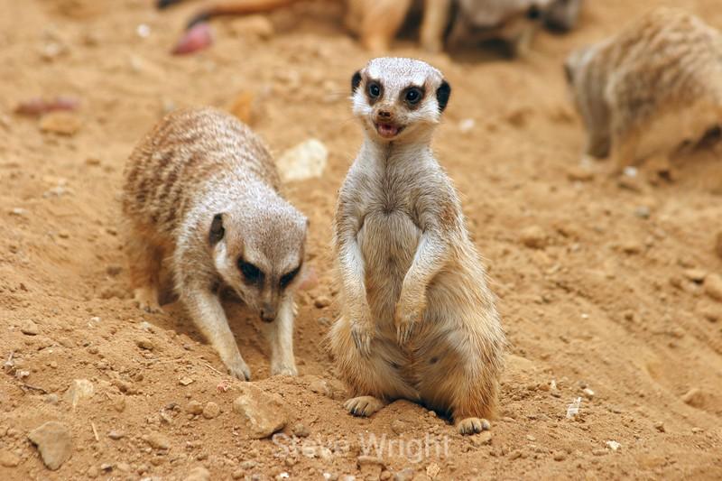 Meerkats - SF Zoo (60) D