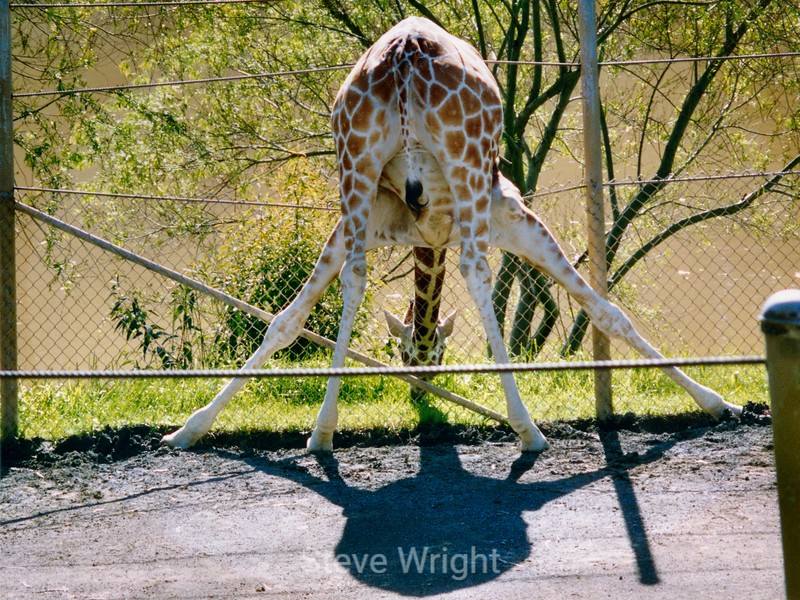 Giraffe - Marine World