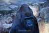Silverback Gorilla - SF Zoo (5265)