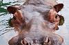 Hippo - SF Zoo #5801