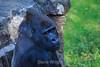 Silverback Gorilla - SF Zoo (5257)