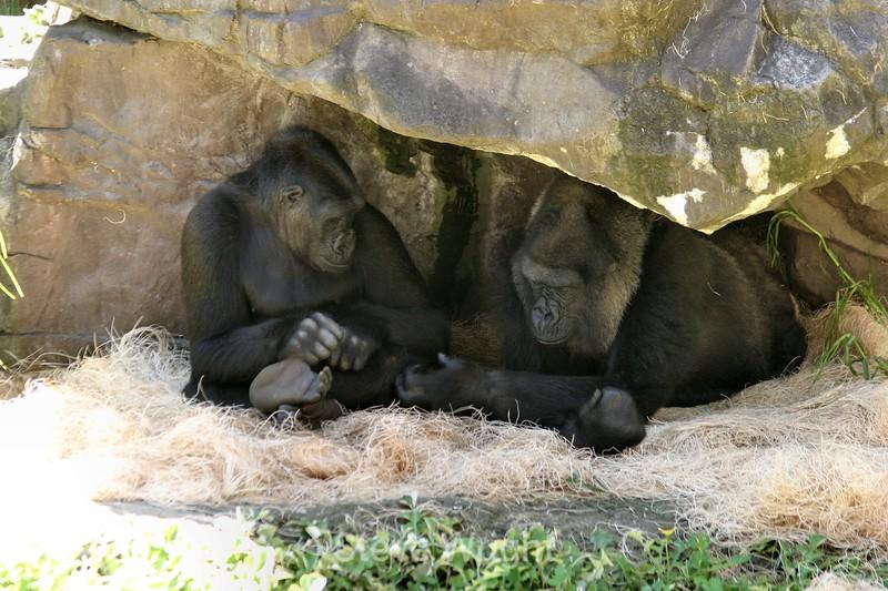 Gorillas - SF Zoo (61) D