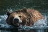Grizzly Bears - SF Zoo #5893
