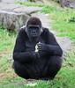 Gorillas - SF Zoo #5604