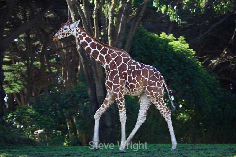 Giraffe - SF Zoo (4599)