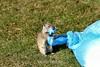 Ground Squirrel - Yellowstone (9) D