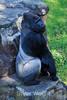 Silverback Gorilla - SF Zoo (5250)