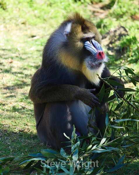 Mandril - SF Zoo (466)