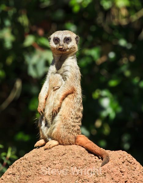 Meerkats - SF Zoo (5018)