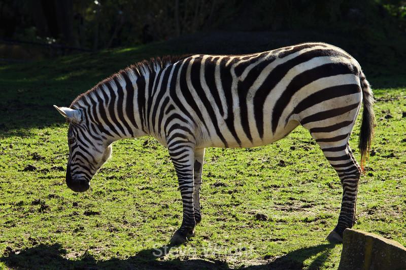 Zebra - SF Zoo (5220)