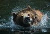 Grizzly Bears - SF Zoo #5892