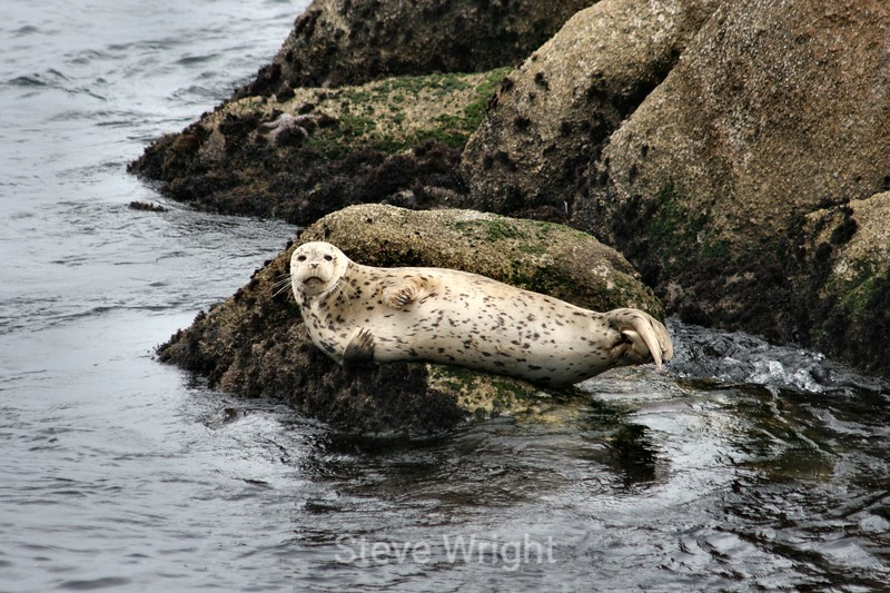 Harbor Seals - Monterey Bay (29) D