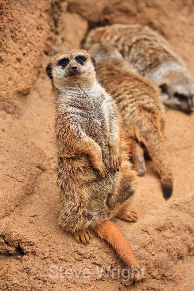 Meerkats - SF Zoo #6008