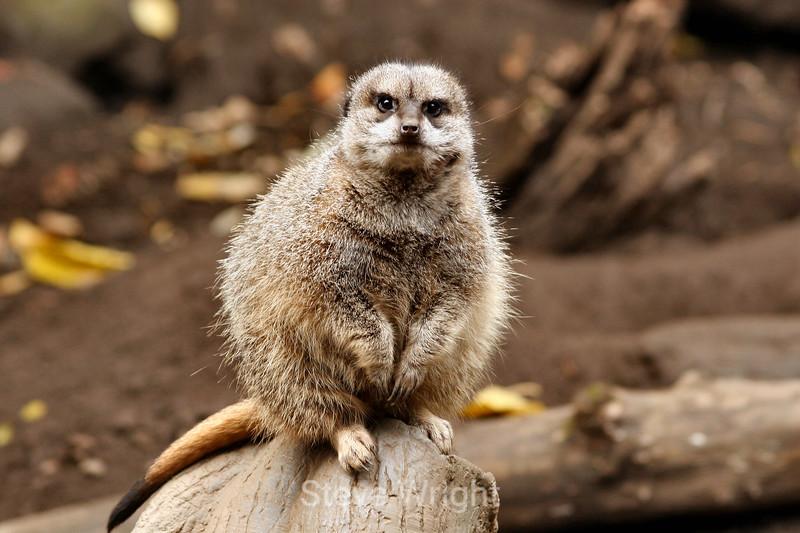 Meerkats - Oregon Zoo (4) D