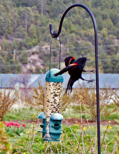 Redwing Blackbird---landing.