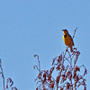Western Meadowlark---telephoto shot. I love hearing their song from out in the field.