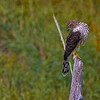 This Cooper's Hawk stayed around long enough for me to get my camera.