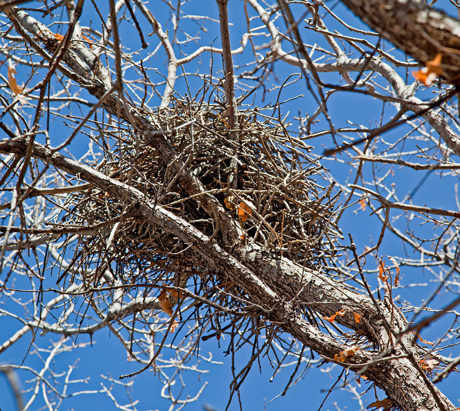 Magpie nest---as I approached to take the photo, the occupant departed.