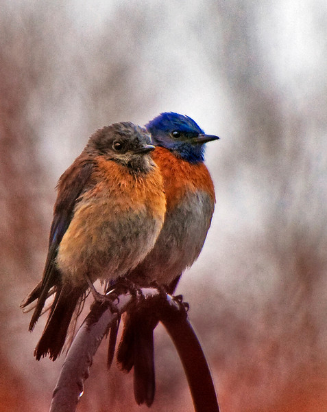 Western Bluebird couple. On this rainy morning, the male landed first,  followed shortly thereafter by his mate. As soon as I took their photo, they flew away!