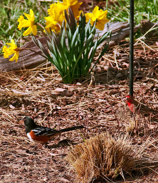 Spotted Towhee and House Finch.