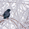 Common Raven, seeking shelter from the storm.